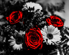 DSC02385 (wildbam25) Tags: black white red blackandwhite schwarzweiss weis schwarz rot bokeh blumen mono farbe sony ilce7m2 zhongyi mitakon f095 50mm