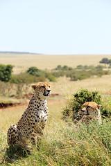 Cheetahs, Masai Mara, Kenya (^Joe) Tags: animal cat big scenery kenya outdoor wildlife nairobi spots mara cheetah masai cheetahs