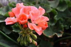 13-IMG_2581 (hemingwayfoto) Tags: blhen blte blume botanik facebookalbum flickr flora garten geranie natur panther pelargonie pflanze pink rot sommer