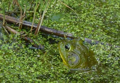 Contestant 1 (mudder_bbc) Tags: green animals poughkeepsie frogs amphibians duckweed bowdoinpark