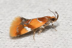 # 1046  Epicallima argenticinctella  Orange-headed Epicallima Moth (Wildreturn) Tags: cuivreriverstatepark troy moth missouri mo moths june insects insecta insect lepidoptera lincolncounty