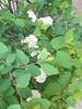 270 (en-ri) Tags: fiorellini flowers cespuglio grappolo verde bianco foglie leaves sony sonysti