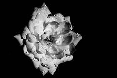 Tropfen auf einer weien Rose - Droplets on a white rose (ralfkai41) Tags: lowkey rose blackwhite drops schwarzerhintergrung monochrom pflanze blossom schwarzweis sw blume tropfen bw flower droplets blte