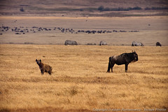 Hyena and Wildebeest, living side by side (3scapePhotos) Tags: africa tanzania animal animals continent crater hyena living ngorongoro ngorongorocrater safari wildebeest zebra