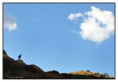 La Vedetta (Alfoja) Tags: mountains alps parks gran foglia alpi montagna paradiso aosta valledaosta daosta valsavarenche camoscio levionaz leviona alfoja lucianofoglia