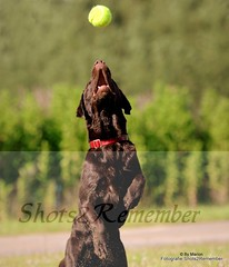 One hundred percent focus on the ball / Honderd procent focus op de bal (ShotsOfMarion) Tags: dog ball nikon flickr labrador hond perro hund huisdier bal canne chocolatebrownlabrador hondenfotografie actiefotografie shotsofmarion shots2remember dogphotograpy chocoladebruinelabrador chocoladebruinelabadorinactie actiephotography labradorfocusontheball labradorgefocusdopdebal