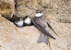 SANDMARTINS (Yvonne Alderson) Tags: brown white bird coast sand martin mud nest bank northumberland parent chicks