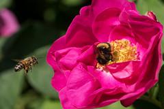 Berlin-Marzahn, Grten der Welt, Orientalischer Garten: Eine Hummel ist in einer Heckenrosenblte, eine Biene will auch noch hinein - A bumblebee is sucking at a rose, and a bee is approaching to do the same (riesebusch) Tags: berlin marzahn grtenderwelt karlfoersterstaudengarten