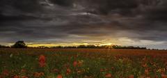 Poppy Panorama (Simon Wootton) Tags: flowers sunset sky panorama plants colour landscape scotland poppies drama midlothian bonnyrigg