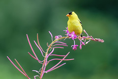Goldfinch on Fire (Wes Aslin) Tags: canada bird britishcolumbia avian abbotsford americangoldfinch spinustristis