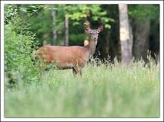 Biche (guiguid45) Tags: nature nikon animaux fort sauvage biche loiret mammifres 500mmf4 d810 cervids fortdorlans