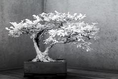 DSC_3925s (An Xiao) Tags: arboretum bonsai penjing