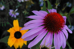 Subject and Countersubject (FiddleHiker) Tags: summer flower minnesota yellow purple echinacea bokeh desaturation coneflower blackeyedsusan hss f20 supertakumar55mmf18 fortsnellingstatepark slidersunday colorsstrong