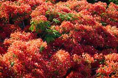 Rojo de flores de flamboyn (inma F) Tags: santacruz arbol rojo flor colores flamboyano
