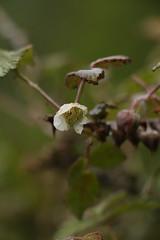 Rubus biflorus (1) (siddarth.machado) Tags: east lachen northsikkim himalayanflora