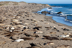 Elephant Seal Beach (Simon Greig (xrrr)) Tags: ocean california sleeping sea beach nature animal mammal coast us outdoor nobody seal napping resting asleep route1 elephantseal cabrillohighway