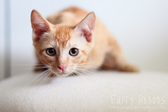 130515_Bambi_003 (furry-photos) Tags: pet cat kitten adopt adoption