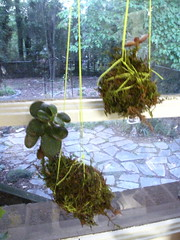kokedama 0845 (sugar-cookie) Tags: garden georgia diy moss succulent grow craft athens treehouse crafty kokedama craftparty mossball gardenmoss treehousekidandcraft