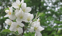 May spring (MomOfJasAndTam) Tags: flowers trees tree flora bokeh may yay bloom greenery crabapple blooming whitery crabappletreeithink