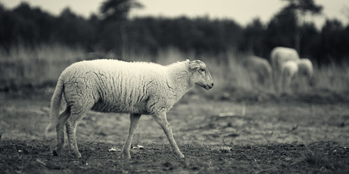 Sheep in Loonse en Drunense Duinen