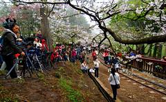 Sakura Railway in Alishan , Chiayi , Taiwan   Photographers (photor432) Tags: roc photographer taiwan railway  cherryblossom sakura chiayi  alishan  csh kirschblte   krsbrsblom kersenbloesem flordecerejeira   fioridiciliegio  flordecerezo fleurdecerisier hoaanho bungasakura      cshblack432 cherrybunga