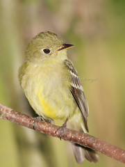 Moucherolle  ventre jaune / Yellow-bellied flycatcher (mitch099) Tags: bird nature beauty jaune quebec beaut ventre mauricie oiseau yellowbellied flycatcher yamachiche moucherolle micheleamyot mitch099