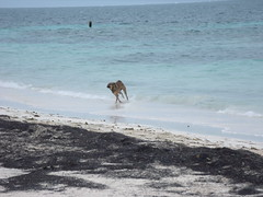 2013-06-04 Casitas Kinsol dogs at the beach - Puerto Morelos - Quintana Roo - Mexico (11) (Alain Berthelot) Tags: dog storm beach dogs rain june fun puerto juin andrea taxi beaches tropical nena plage rains between morelos morales plages 2013 moralos