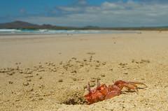 Cangrejo fantasma (trebol_a) Tags: arena isabela cangrejos crustaceos invertebrados galapagos2012