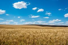Fields of Palouse, WA (Brown) (SharmaPunit) Tags: brown green landscape scenery day cloudy wheat fields palouse steptoebutte palousewa wallawallawinetasting palousewinery