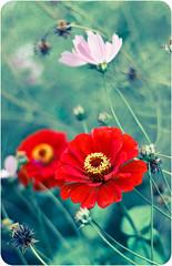 Red zinnia and Kosmeya (Ezti-real) Tags: flowers red summer nature zinnia redflowers  beautifulflowers   summerflowers  redzinnia