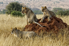 LION CUBS (mark_rutley) Tags: africa trip vacation holiday west kenya wildlife lion east safari lions cubs tsavo