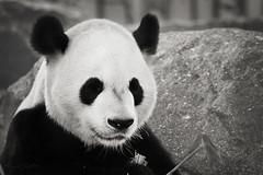Da Mao B&W PP. (Nancy S. Coelho) Tags: toronto giant zoo chinese pandas