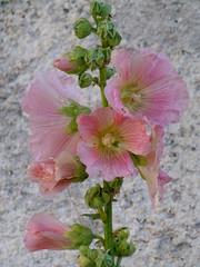 roses trémières (b.four) Tags: rose hollyhock var trémière dda coth compssurartuby diamondclassphotographer flickrdiamond citrit malvone rubyphotographer damniwish mygearandme ruby10 ruby15 ruby20