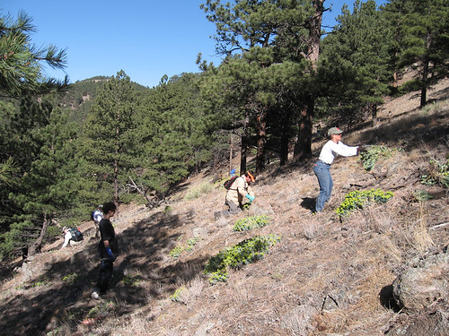 Photo - Volunteers and staff on OSMP work very hard to remove Myrtle Spurge from the land.