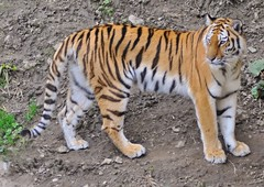 Siberian or Amur Tiger.-Panthera tigris Altaica (Zooman2009) Tags: beautiful stripes teeth whiskers killer strong hunter powerful claws carnivore preditor meateater criticallyendangered nikond90 chinesemedicane siberianoramurtigerpanthreatigrisaltaica