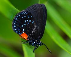 Atala Butterfly- Eumaeus atala (XSNRG27) Tags: macro nature butterfly nikon florida carribean mariposa farfalla schmetterling vlinder hairstreak atala 蝶 d600 бабочка bướm eumaeus aposematic coontie мотылек