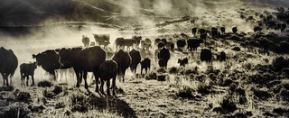 Cattle in ranching country, Montana