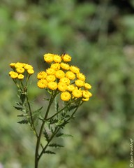 Tanacetum vulgare (Makromaus_Ahrweiler) Tags: macro nature makro asteraceae commontansy tanacetumvulgare asterales rainfarn naturaufnahme asteroideae korbblütengewächse asternartige zungenundröhrenblütler