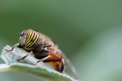 Band-eyed Drone Fly (siamesepuppy) Tags: macro canon bug insect fly 100mm arthropoda invertebrate entomology arthropod drone 60d