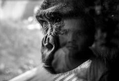staring (Jen MacNeill) Tags: boy blackandwhite bw white black reflection philadelphia window glass zoo eyes child looking gorilla pennsylvania pa ape stare staring primate jennifermacneilltraylor jmacneilltraylor jennifermacneill jennifermacneillphotography