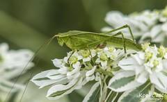 Grasshopper on Iron Weed (Kool Cats Photography over 5 Million Views) Tags: flower green oklahoma nature insect zoo grasshopper oklahomacity oklahomacityzoo yabbadabbadoo zoonature zoosofnorthamerica efs55250mmf456isii