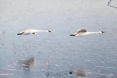 swan-2568