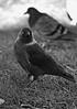 (where birds always sing) Tags: light blackandwhite sunlight black blur bird nature grass sunshine animal photography nikon sweden dove uppsala crow naturephotography nikond300