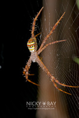 St Andrew's Cross Spider (Argiope versicolor) - DSC_8263 (nickybay) Tags: macro st spider singapore andrews cross argiope versicolor araneidae lornietrail
