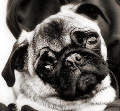 """Will you be my friend?"" (NCinDC) Tags: dog animal sepia puppy pug delta animalplanet"