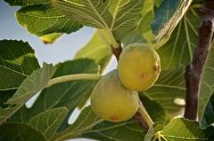 Two Figs (Sergio Romiti) Tags: camping 2 two tree fruits sergio fruit nikon italia fig albero frutta puglia due figs fico bisceglie frutto romiti d7000 nikond7000 sergioromiti