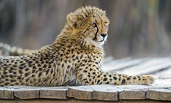 Cheetah cub on the platform