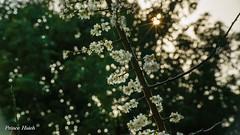 寒梅飄雪 - Sunset of Plum Blossoms - Taichung City municipal Shuang-Shih Junior High School (prince470701) Tags: taiwan plumblossoms 台中市 taichungcity sigma70300mmmacro 寒梅 sonya850 台中市雙十國中 taichungcitymunicipalshuangshihjuniorhighschool