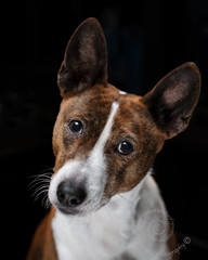"1.12c Raisin ""New Toy!"" (jezandia) Tags: dog basenji raisin ldlportraits 12monthsfordogs14"