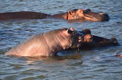 Hippos (Corrafranco) Tags: africa south safari viaggi animali